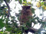 Tawny Fish Owl Corbett area © S Robson