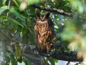 Tawny Fish Owl © Wild About Travel