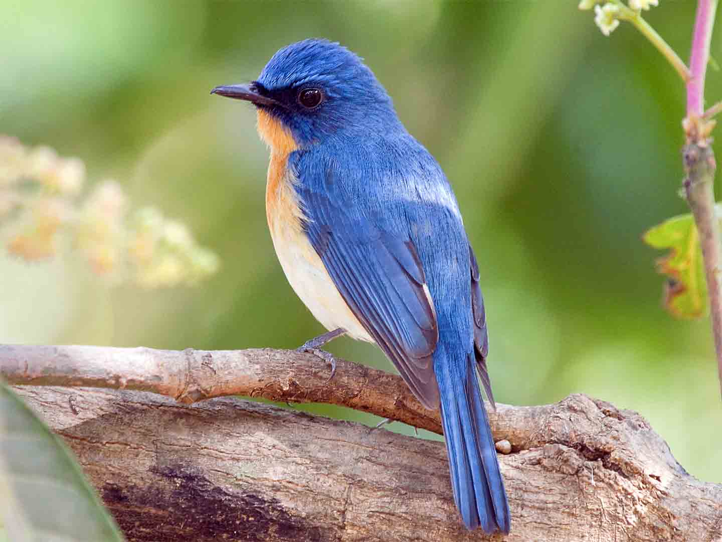 Tickell's Blue Flycatcher © D Bryan