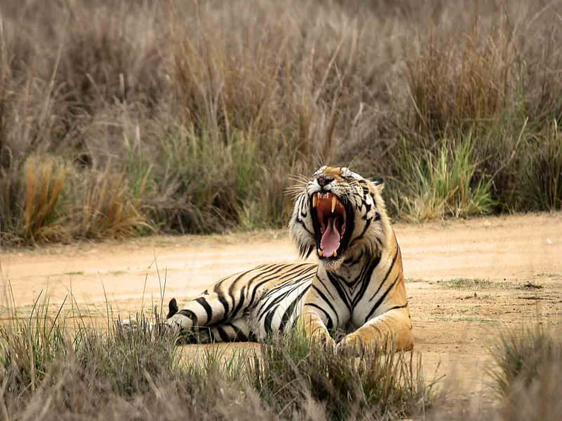 Bengal Tiger © M Addis
