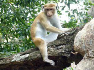 Toque Macaque © J Thomas