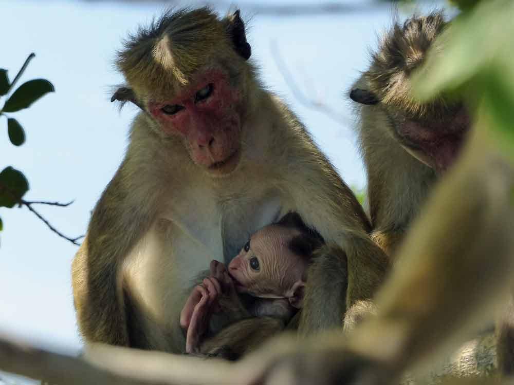 Toque Macaques © J Thomas