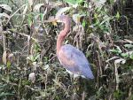 Tricoloured Heron © J Badley