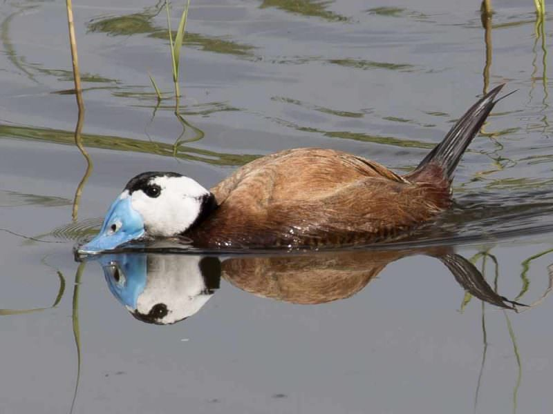 White-headed Duck © R Campey, One Stop Nature Shop