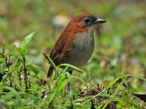 White-bellied Antpitta © K Barnes