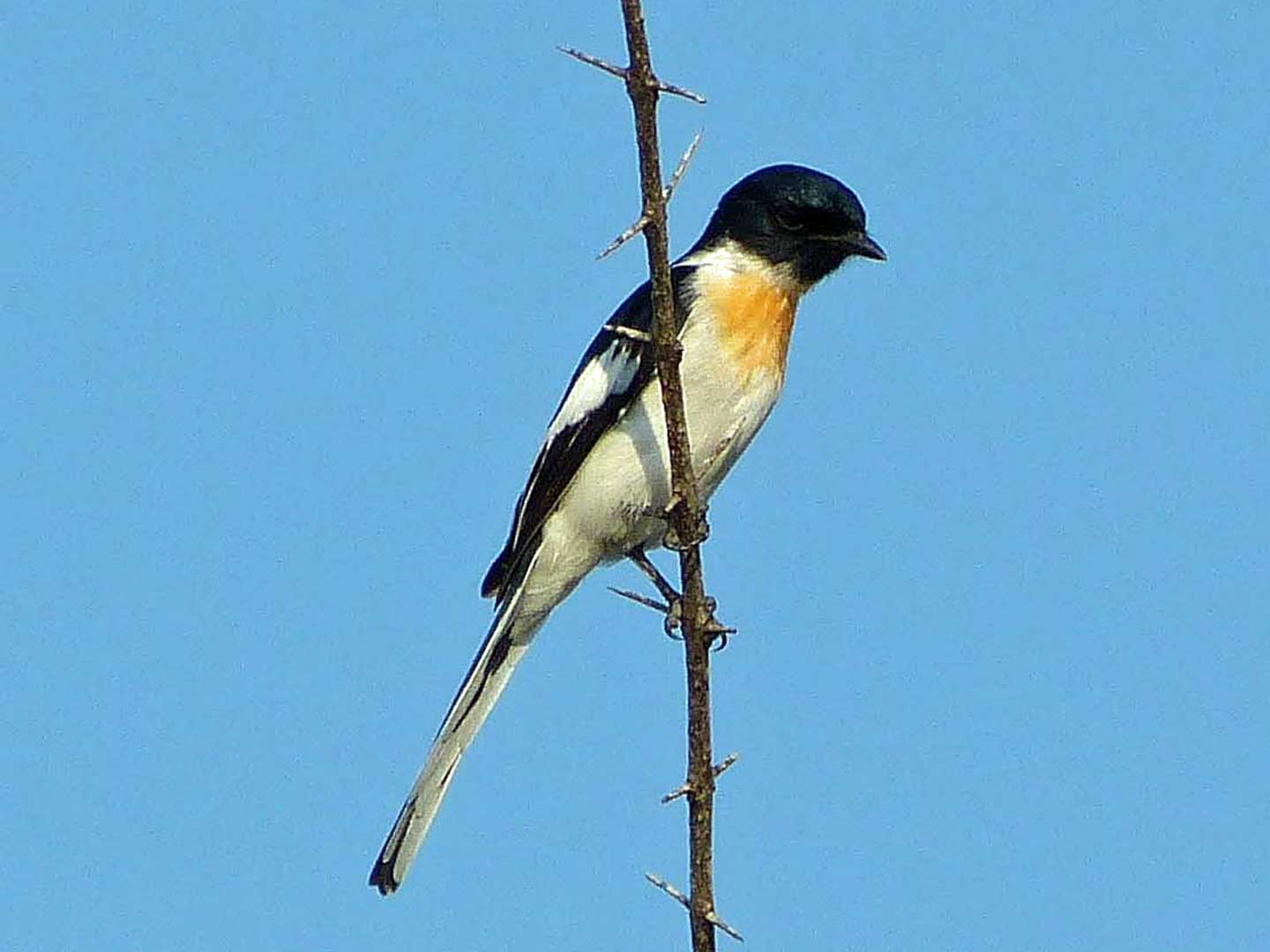 White-bellied Minivet © J S Bridges