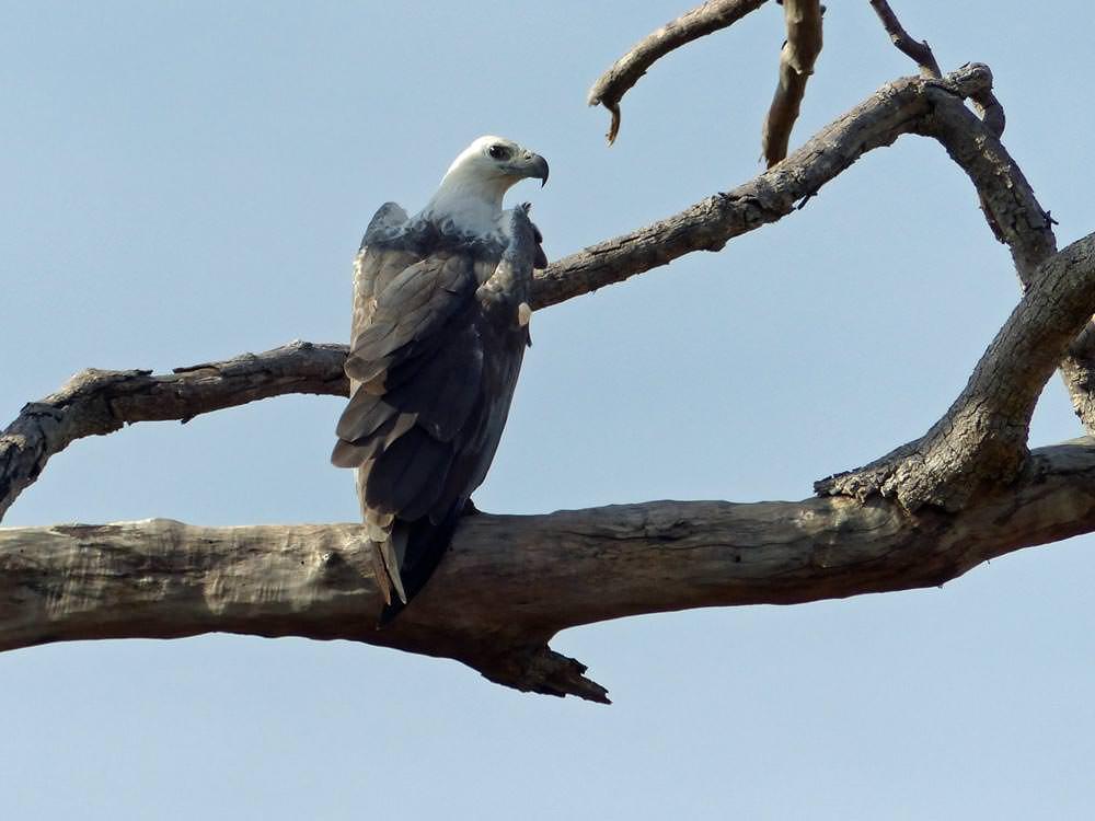 White-bellied Sea Eagle © J Thomas