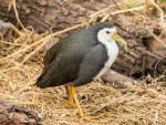 White-breasted Waterhen © P Clarke