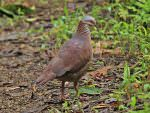White-throated Quail Dove © K Barnes