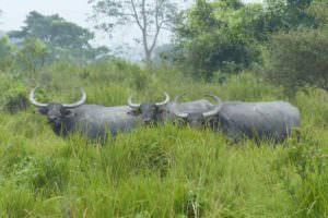 Wild Asiatic Water Buffalo © J Thomas