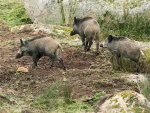 Wild Boar © G Dean