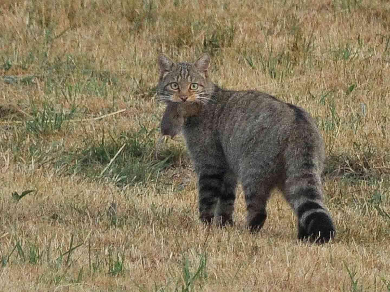 Wild Cat © John Sykes