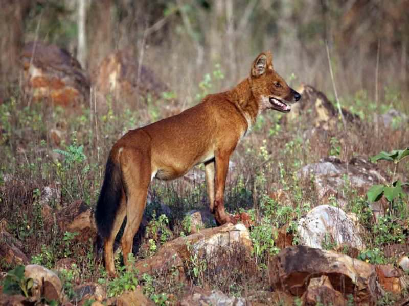 Indian Wild Dog (Dhole) © N Robinson
