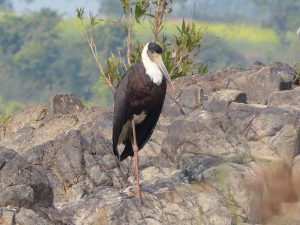 Woolly-necked Stork © K Claydon