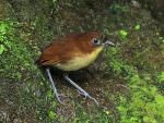 Yellow-breasted Antpitta © K Barnes