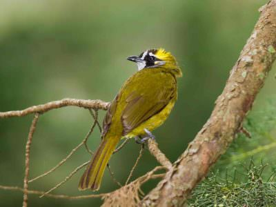 Yellow-eared Bulbul © Tony Sawbridge