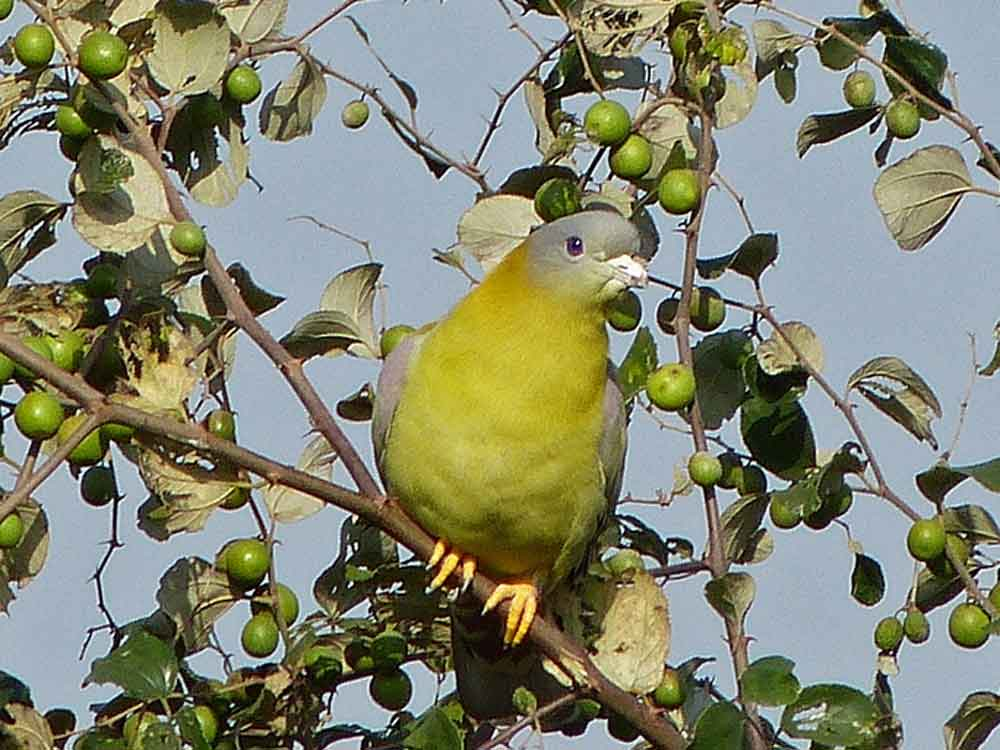 Yellow-footed Green Pigeon © K Claydon
