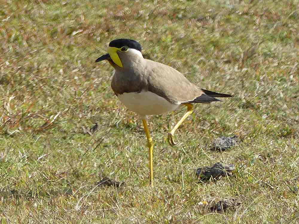Yellow-wattled Lapwing on a birdwatching tour