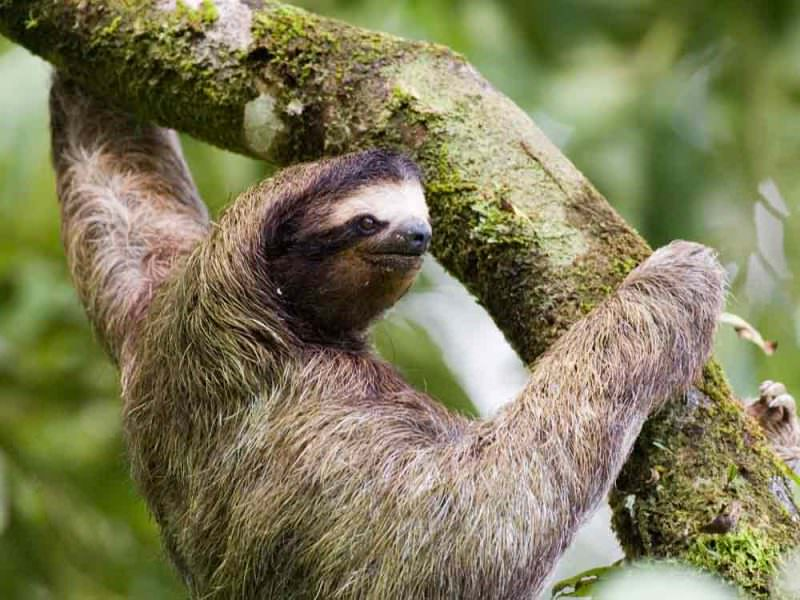 Brown-throated three-toed Sloth © D Tipling