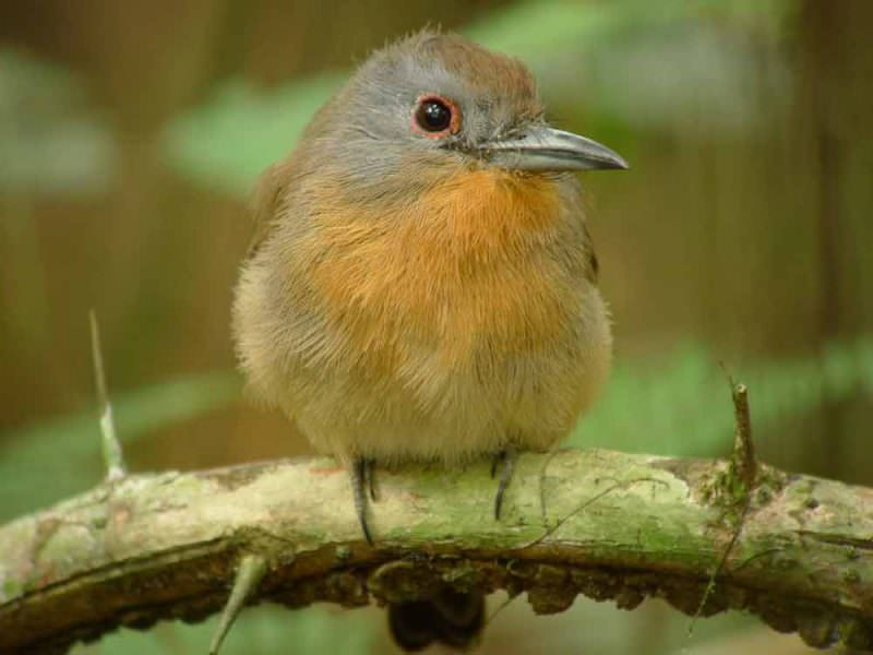 Grey-cheeked Nunlet © Canopy Family