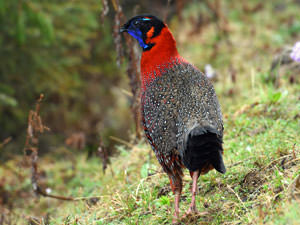 Satyr Tragopan © Wild About Travel