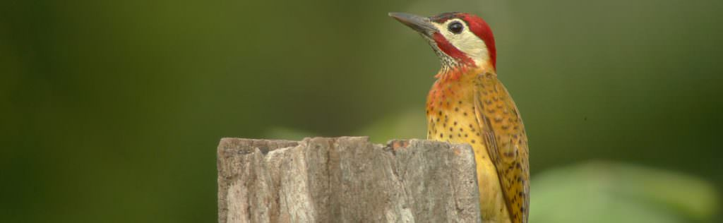 Spot-breasted Woodpecker © Canopy Family